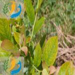 Leaf-acid